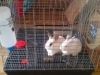 bunnies-in_-cage_