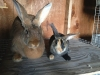flemish-compared-to-bunny-smalls